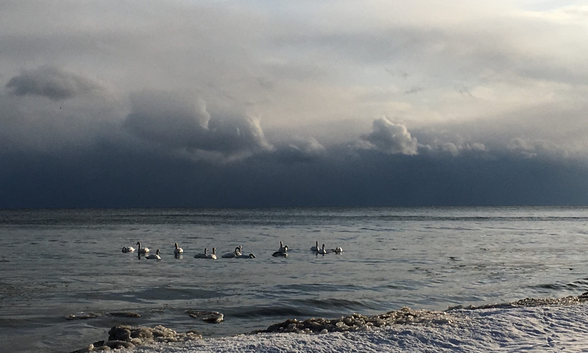12 swans on Lake Ontario
